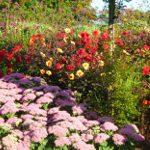 autumn gardens sedums