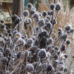 echinacia seed heads with winter frost