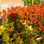heleniums and daylilies