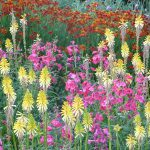 kniphofia and penstemon