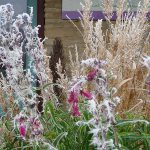 penstemon and calamagrostis with winter frost