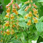 spring gardens digitalis viridflora