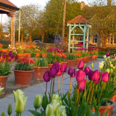 tulip-garden-potted-spring-gardens